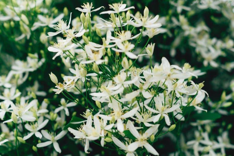 铁线莲属flammula,白色夏天花背景 有小瓣的令人敬畏的美丽的花圃 环境美化的优秀植物 免版税库存照片