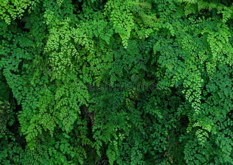 黑铁线蕨绿色植物墙壁  免版税库存照片