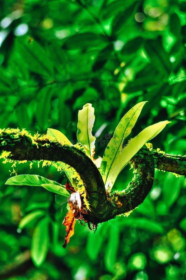 铁角蕨属巢或鸟巢蕨当地人向热带东南亚 位于婆罗洲的蕨的一个附生植物种类,马来西亚 免版税库存照片