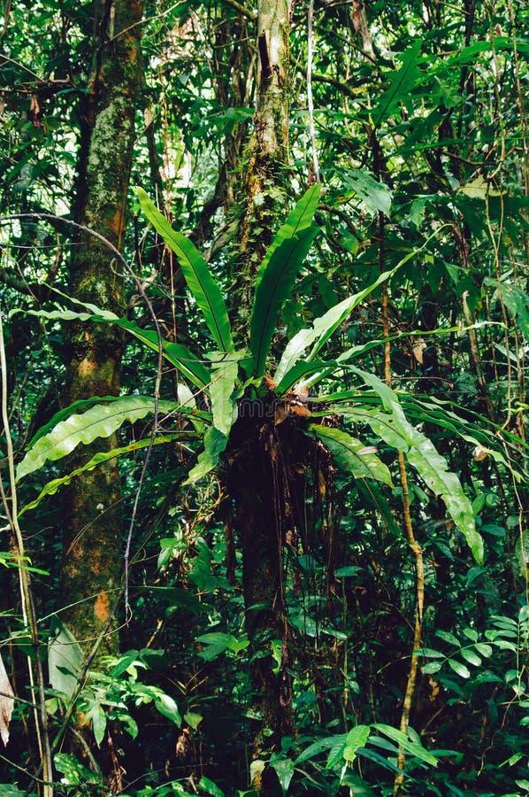 铁角蕨属巢或鸟巢蕨当地人向热带东南亚 位于婆罗洲的蕨的一个附生植物种类,马来西亚 库存照片