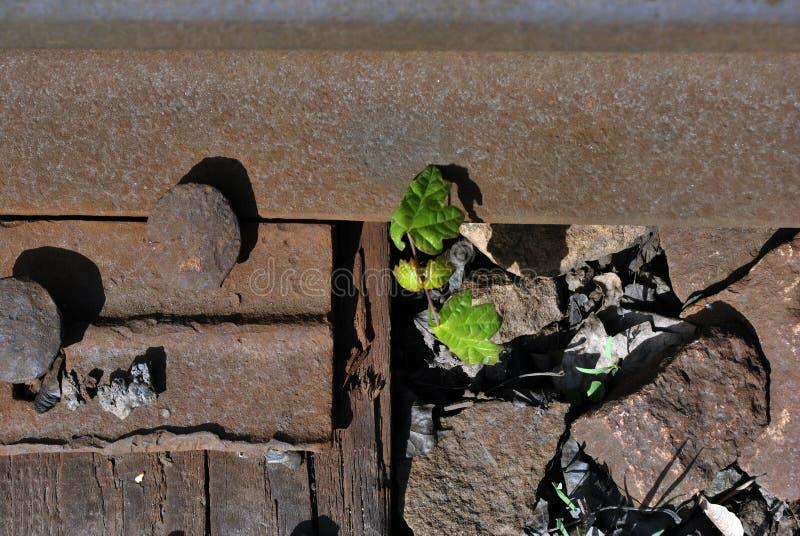 铁路路轨,被击碎的石头金属表面上的生锈的螺栓用与第一片叶子的增长的银色枫树新芽 免版税库存图片