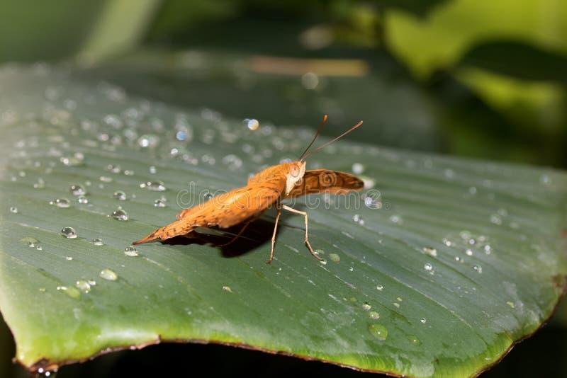 铁锈红色污点的总和侧视图蹒跚而行与在玻璃温室拍摄的开放翼的蝴蝶 图库摄影