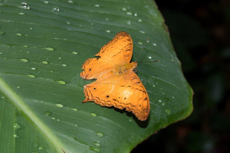 铁锈红色污点的总看法蹒跚而行与在玻璃温室拍摄的开放翼的蝴蝶 免版税图库摄影