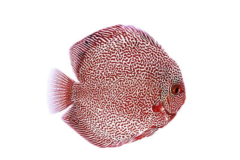 铁饼鱼红色蛇皮例证 库存图片