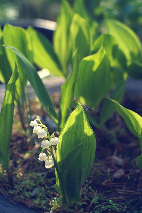 铃兰在一张花床上增长在一个晴朗的夏日 库存照片