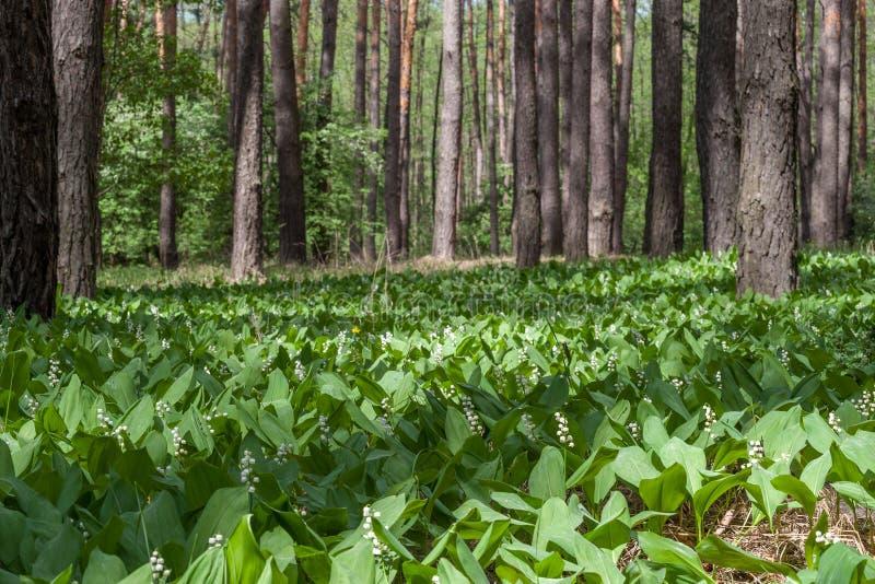 铃兰在春天森林里 图库摄影