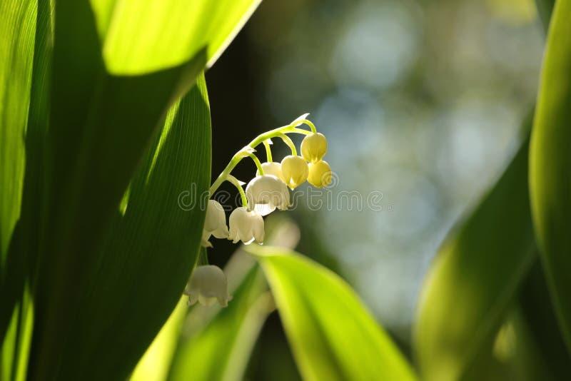 铃兰在森林里在一个sunnny春天早晨 库存照片