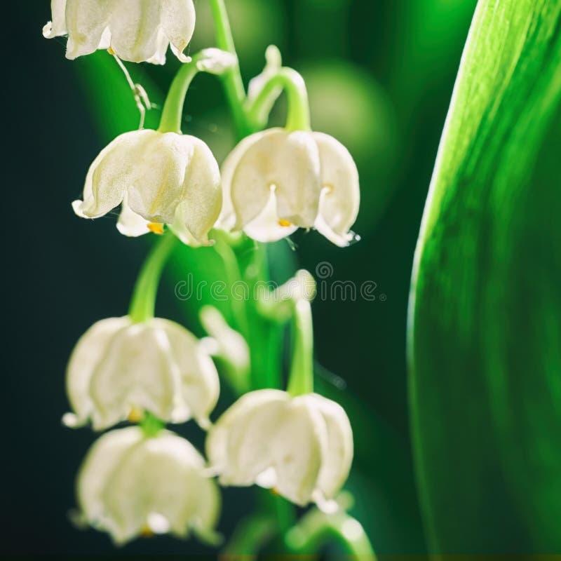 铃兰开花的花在清早户外宏指令的 库存照片