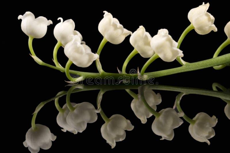 铃兰草在黑背景隔绝的majalis铃兰春天花的唯一枝杈  图库摄影