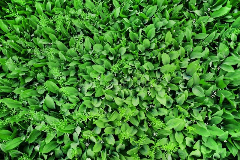 铃兰顶视图许多绿色叶子和花  ?? 库存图片