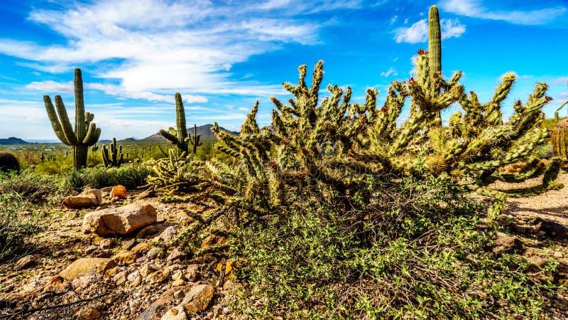 铅笔仙人掌是Usery山地方公园半沙漠风景在菲尼斯亚利桑那附近 库存照片