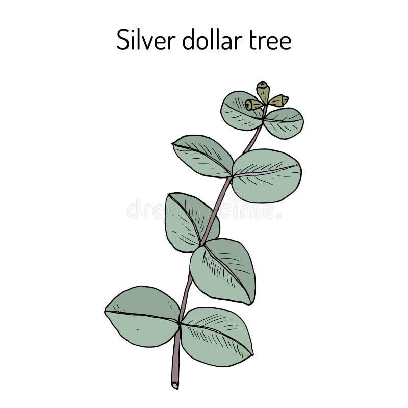 银元灰质树的玉树或者argyle苹果,银叶子stringybark,药用植物 皇族释放例证