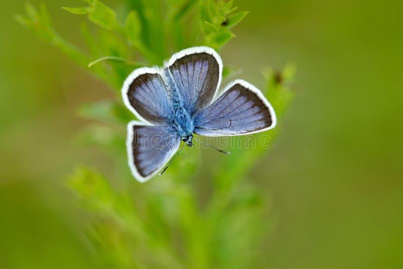 银散布的蓝色, Plebejus阿格斯,野生美丽的蝴蝶坐绿色叶子,昆虫在自然栖所,春天  库存照片