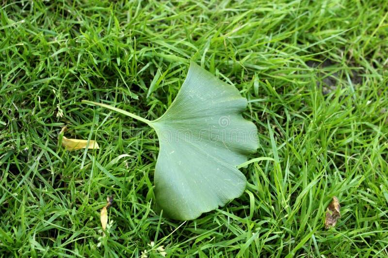 银杏叶子在草背景中 免版税图库摄影