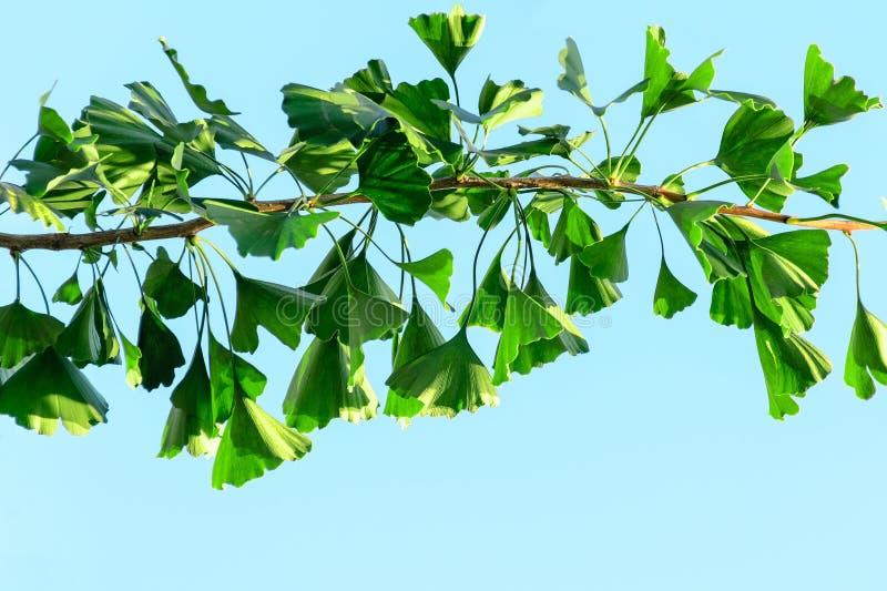 银杏树与绿色叶子的biloba分支反对天空蔚蓝 免版税库存图片