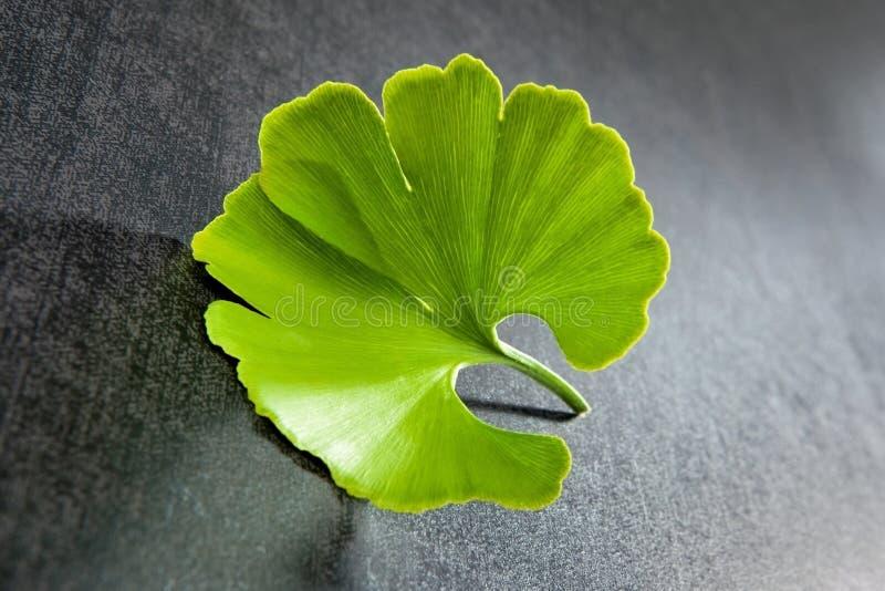 银杏树叶子。 免版税库存图片