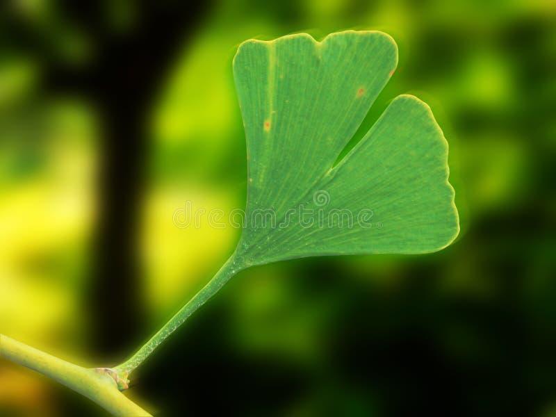 银杏树叶子宏观摄影  免版税图库摄影