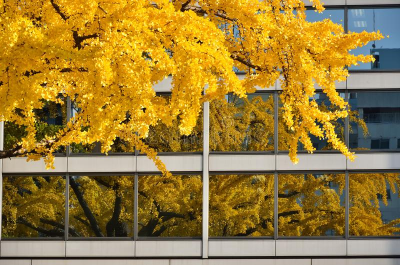 银杏树在大阪,日本把秋季看法留在 免版税库存照片