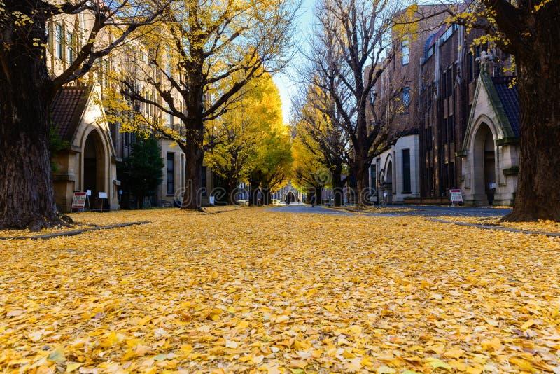 银杏树在路,秋天季节离开在日本 免版税图库摄影