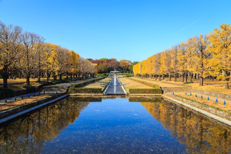 银杏树树两行与许多的秋天黄色离开 库存照片