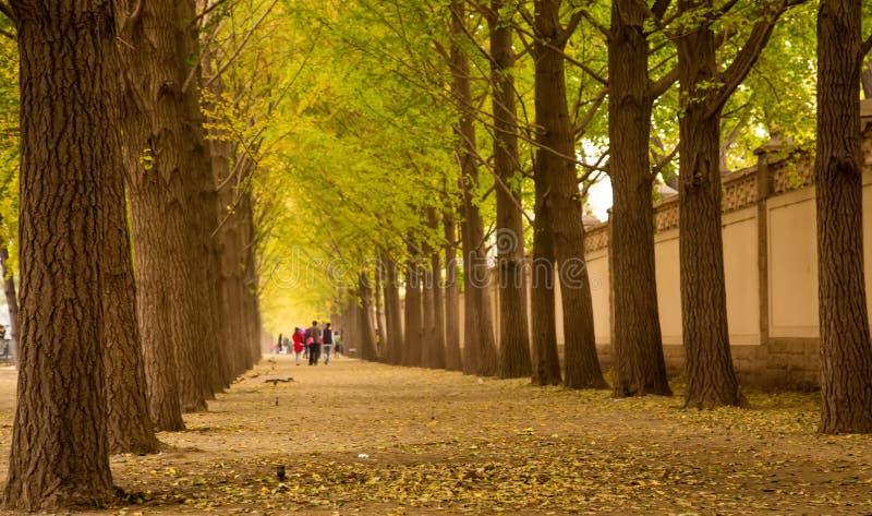 银杏树树森林 库存图片