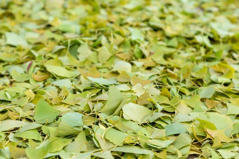 银杏树离开象在地面上在秋天 库存图片