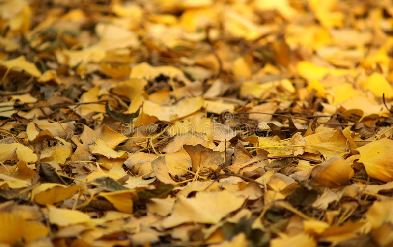 银杏树离开黄色 免版税库存图片