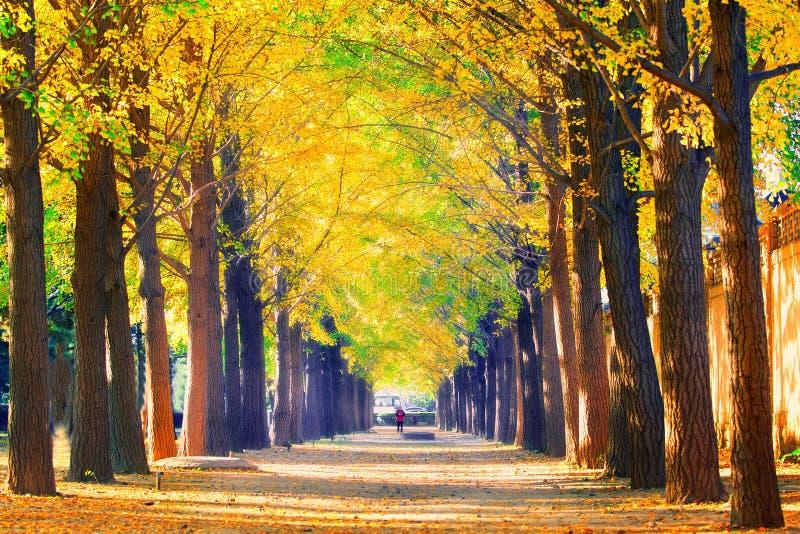 银杏树路在秋天季节的北京 库存图片