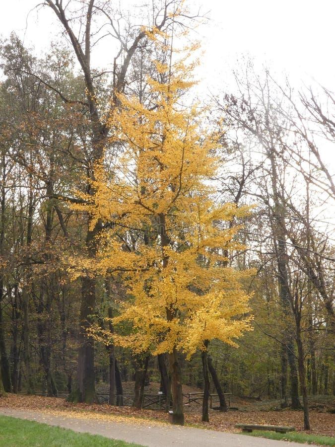 银杏树biloba在秋天 免版税库存图片