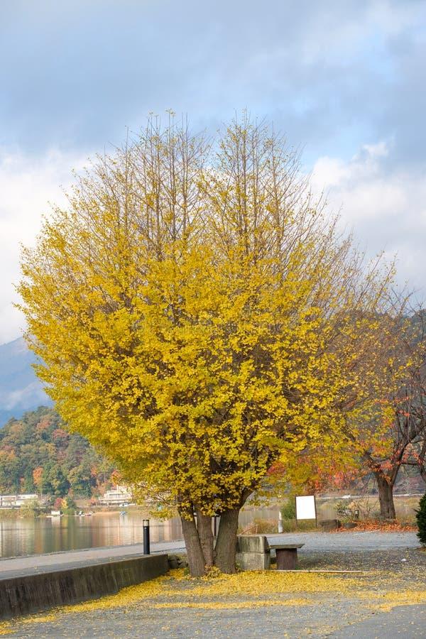 银杏树Biloba树黄色在秋天把绽放留在 库存图片