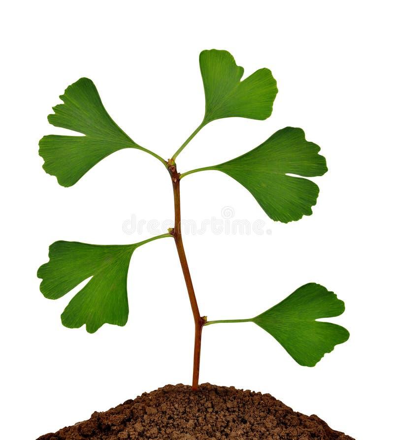 银杏树biloba植物 免版税库存图片
