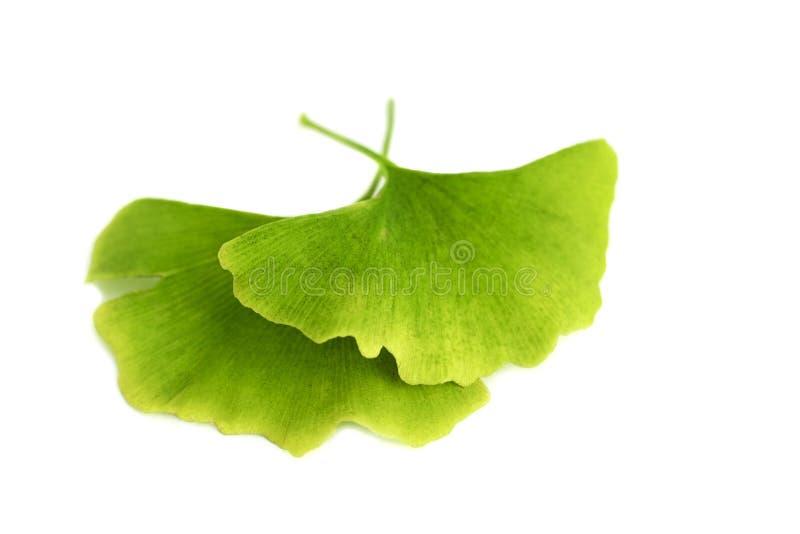 银杏树biloba特写镜头绿色叶子,隔绝在白色背景 图库摄影