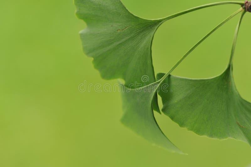 银杏树Biloba的叶子 免版税图库摄影