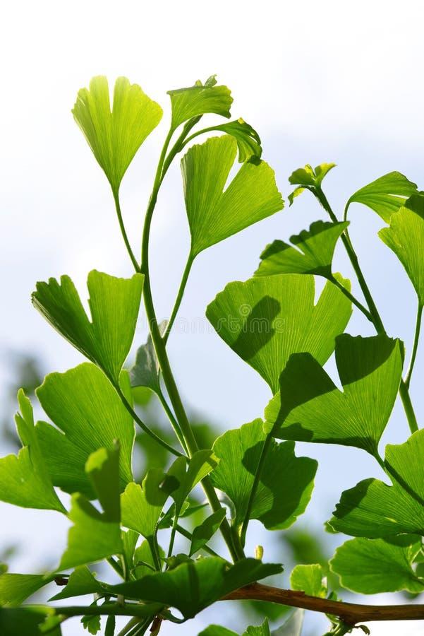 银杏树Biloba绿色叶子  免版税库存图片