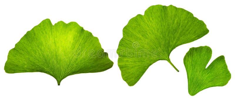 银杏树biloba islated叶子宏指令、绿色eco设计元素、织地不很细自然静脉和气孔叶子在白色背景 免版税库存图片