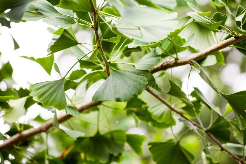 银杏biloba -树 免版税库存照片