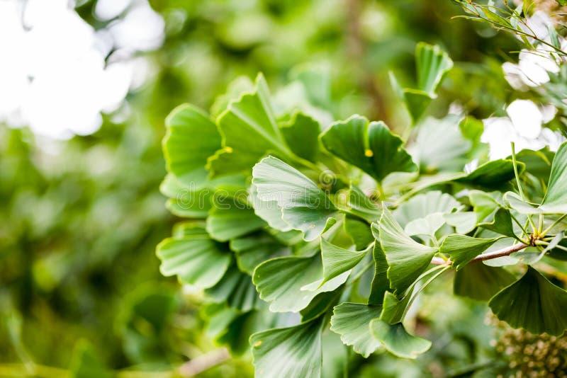 银杏biloba -树 库存图片