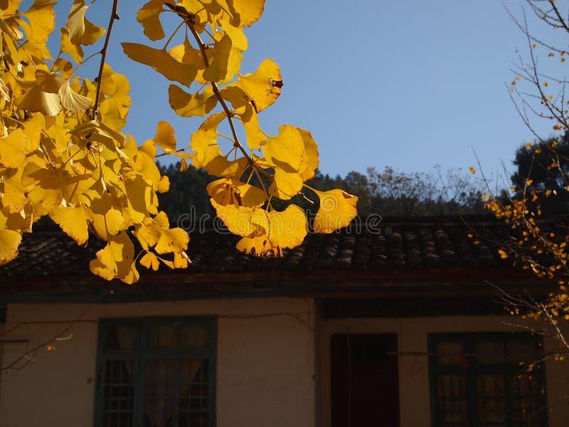 Ginkgo biloba L. In GuangDong  ancient village of china stock photo