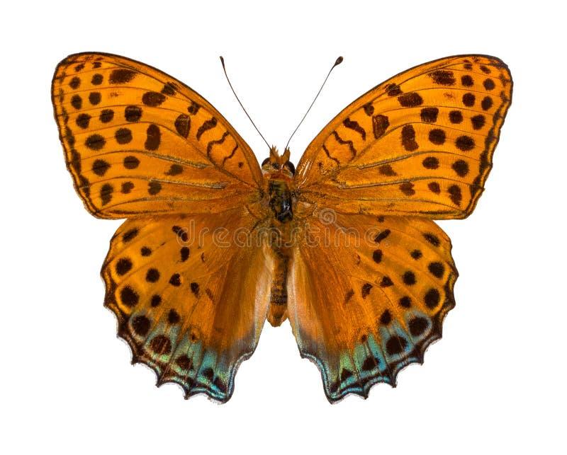 银洗涤了贝母Argynnis paphia/颜色蝴蝶,隔绝在与裁减路线的白色背景 免版税库存图片