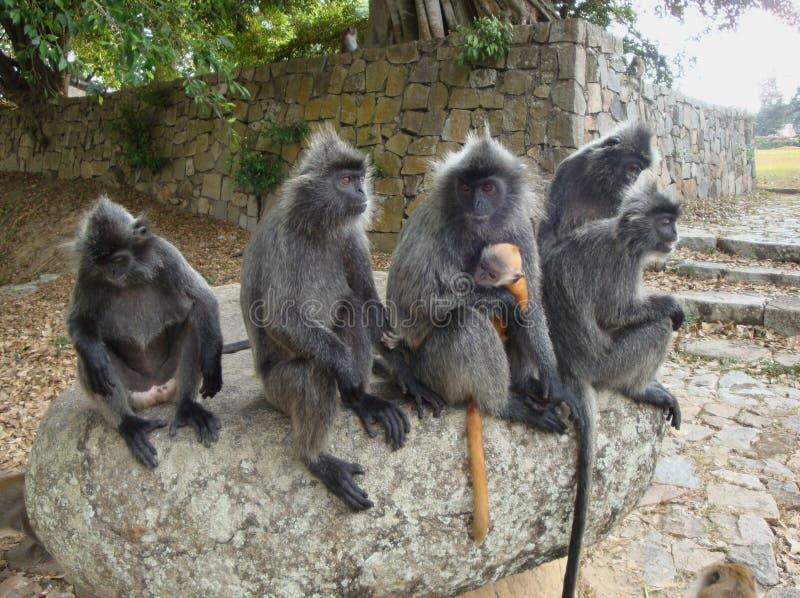 银色叶猴猴子家庭与崽(的;trachypithecus cristatus); 库存图片