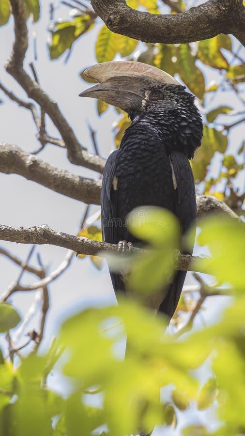 银色cheeked犀鸟垂直的射击  免版税库存照片