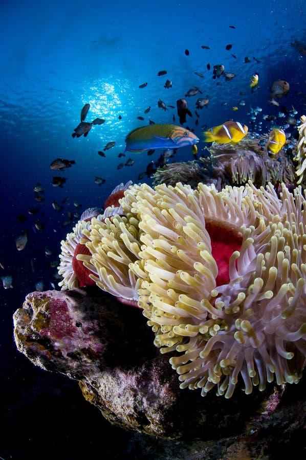 银莲花属埃及鱼红色礁石海运 图库摄影