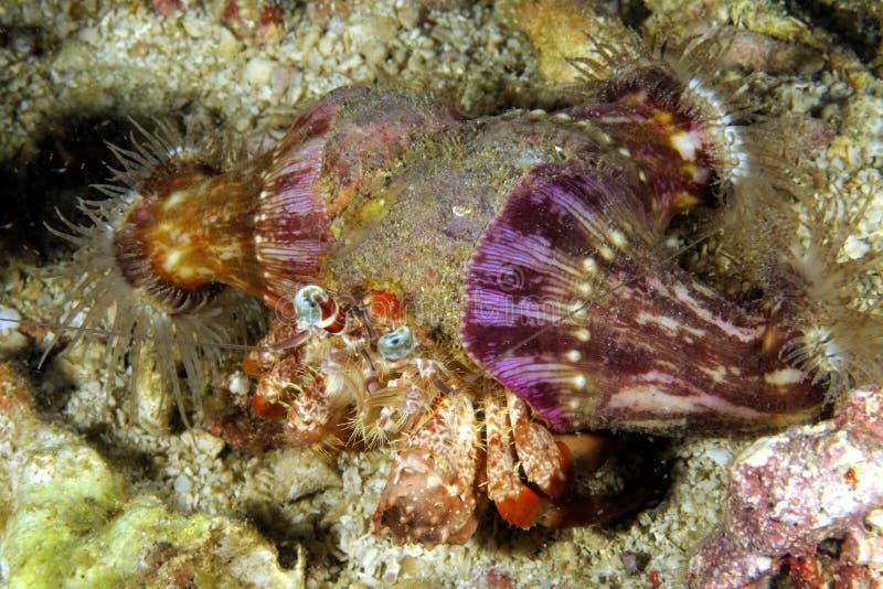 银莲花属寄居蟹Dardanus pedunculatus, Malapascua菲律宾 库存照片