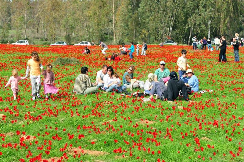银莲花属开花在以色列 库存照片