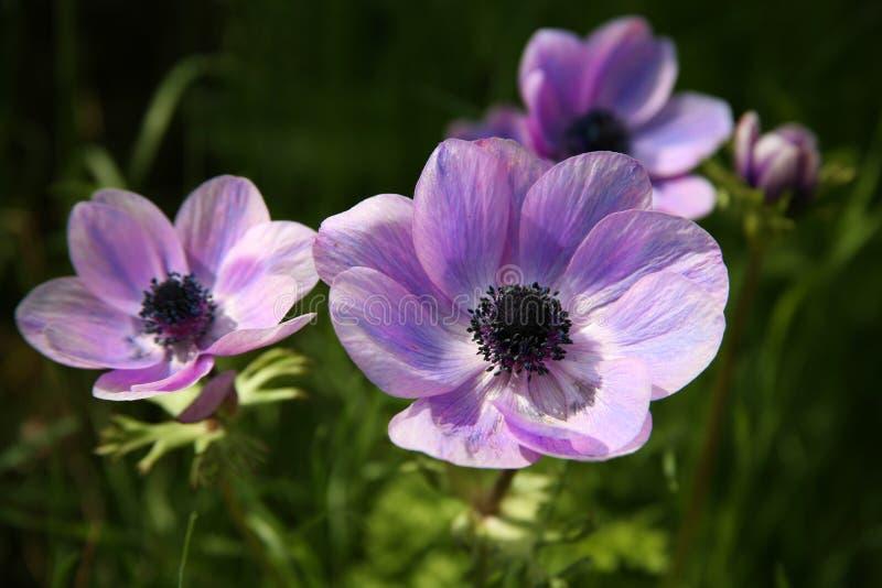 银莲花属开花紫色弹簧 免版税库存照片