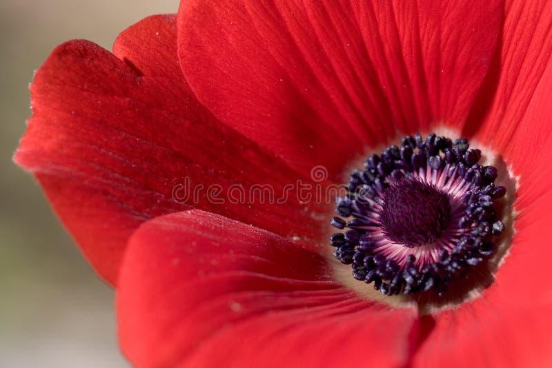 银莲花属接近的红色 免版税库存图片