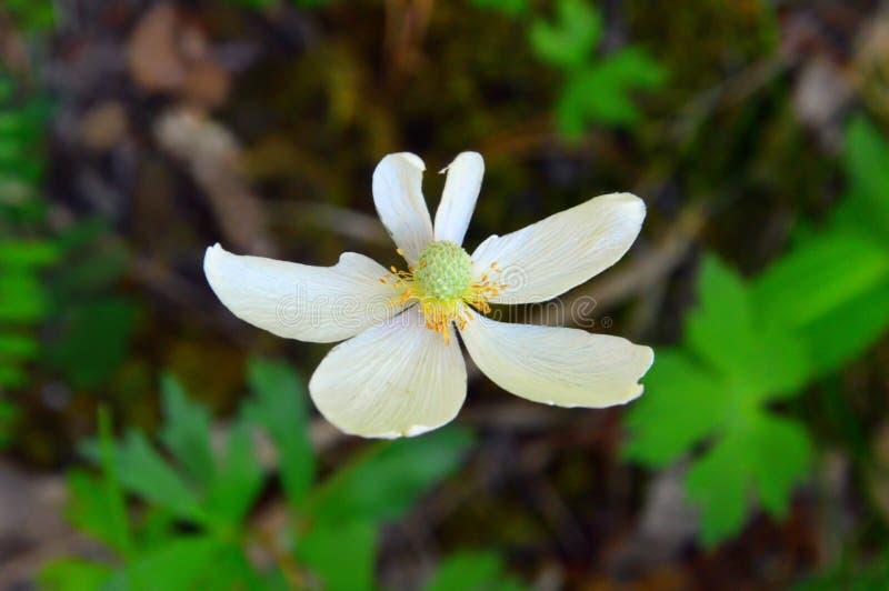银莲花属森林拉特 银莲花属sylvestris 与不规则的瓣的白花 库存图片