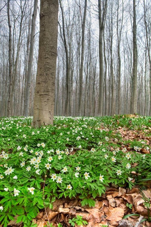 银莲花属森林春天空白野花木头 免版税库存图片