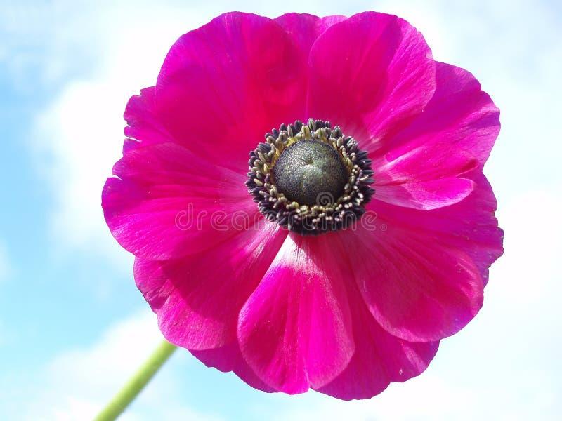 银莲花属法国粉红色 免版税库存图片