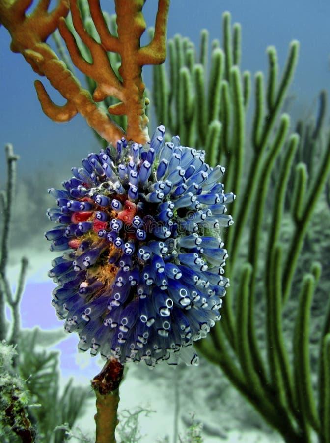 银莲花属珊瑚生长海运 库存图片